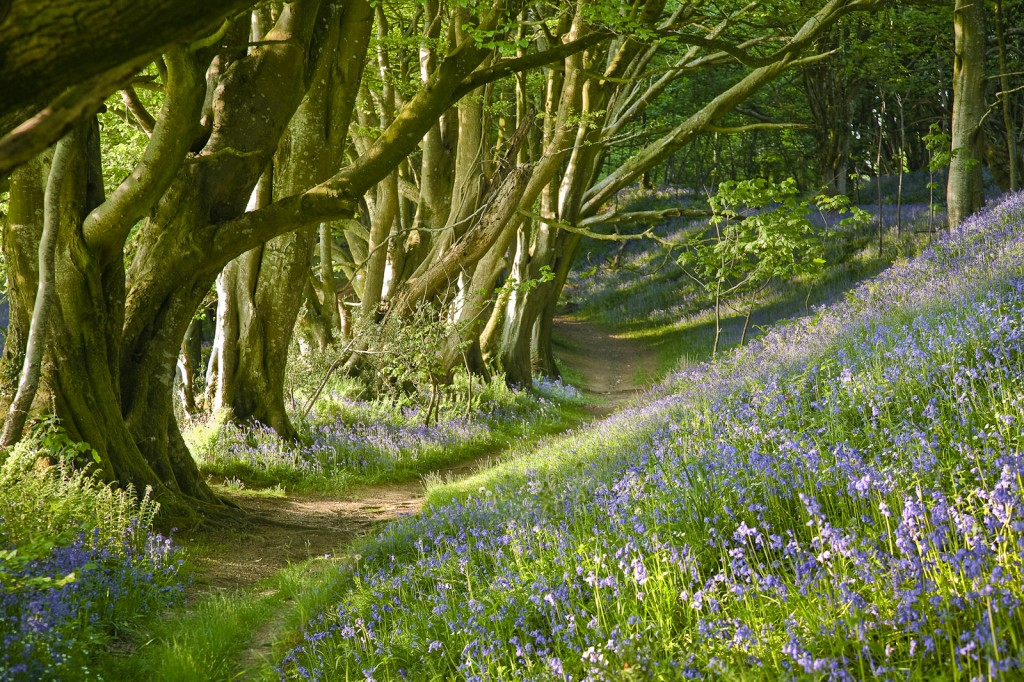 Lewesdon Bluebells